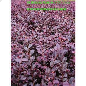 【红继木色块苗】厂家,价格,图片_湖南浏阳海蕴园林