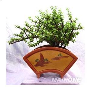 盆景,室内绿化植物,盆景详细信息金枝玉叶习性:喜温暖湿润的环