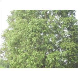 水杉树的价值_水杉有什么药用价值?