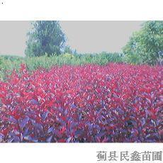 红宝石海棠-国槐-白蜡---全国十佳苗圃