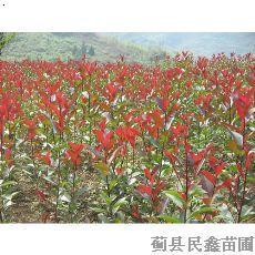 红王子锦带---国槐-白蜡-全国十佳苗圃