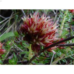 红景天_阿坝藏族羌族自治州兰花及珍稀野生花卉协会