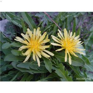 地丁草_阿坝藏族羌族自治州兰花及珍稀野生花卉协会