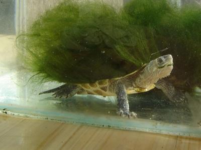 【绿毛龟】_绿毛龟地址