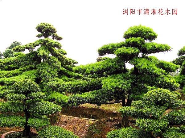 罗汉松(富贵树,镇宅辟邪)