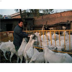 山羊养殖注意事项:  俗话说:养羊无巧,栏干食饱.图片