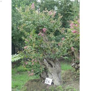 优质彩叶银杏树种的繁育与推广,银杏系列产品开发及应用,园林植物病虫