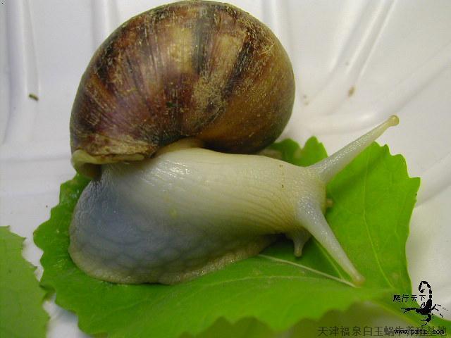 白玉蜗牛养殖前景_3广西白玉蜗牛湖北白玉蜗牛养殖嘉兴白玉蜗牛
