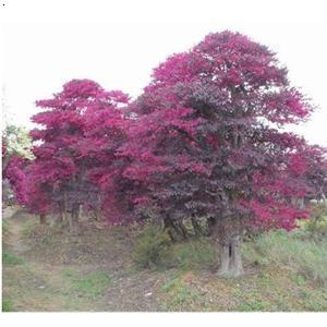 红花树图片大全
