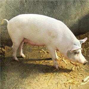【家猪】厂家,价格,图片