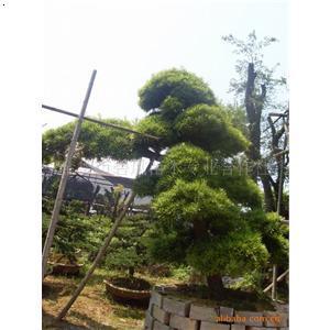 【金华罗汉松盆景】厂家,价格,图片_金华市碧风苗木