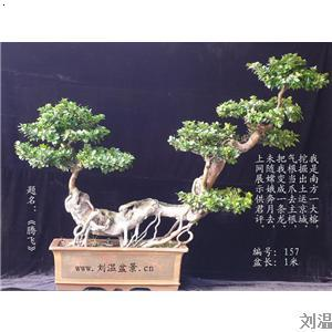 【榕树盆景】厂家,价格
