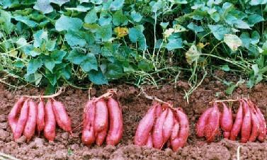专业红薯种植图片