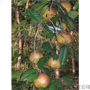 产品首页 农业 绿化苗木 果树 大果红花油茶苗 大红花油茶苗 油茶种子