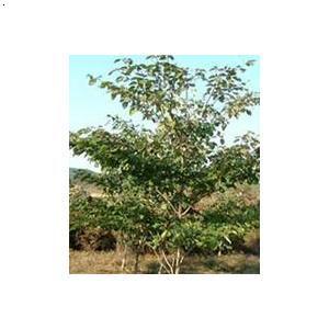 产品首页 农业 绿化苗木 乔木 灯台树种子  价&
