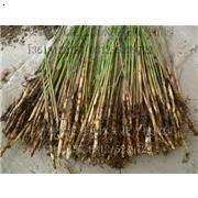 芦苇苗,芦苇苗,白洋淀芦苇苗生命力强,适应性广,价格低廉、质量保证。