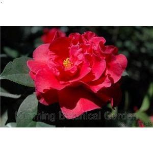 最名贵茶花品种图片 什么茶花品种最名贵 最名贵茶花品种红露珍