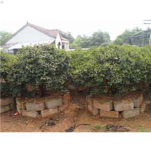 【茶梅】厂家,价格,图片_金华市玉军花木盆景专业