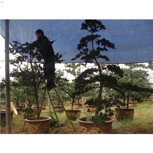 【造型五针松】厂家,价格,图片_金华市玉军花木盆景