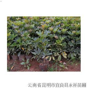 【供应鸭脚木(鹅掌柴)】厂家,价格,图片_云南省昆明市