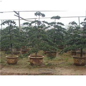 【五针松】厂家,价格,图片_金华市玉军花木盆景专业