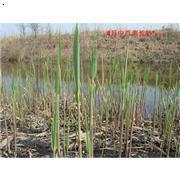 白洋淀优质芦苇苗,存活率100%,生命力强,适应环境广,质优价廉,品质保证。