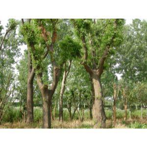 产品首页 礼品,工艺品,饰品 盆景 树木盆景 皂角树  价      格: 面议