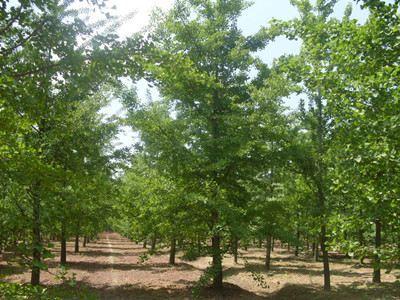 樱桃树栽培管理 技术图片