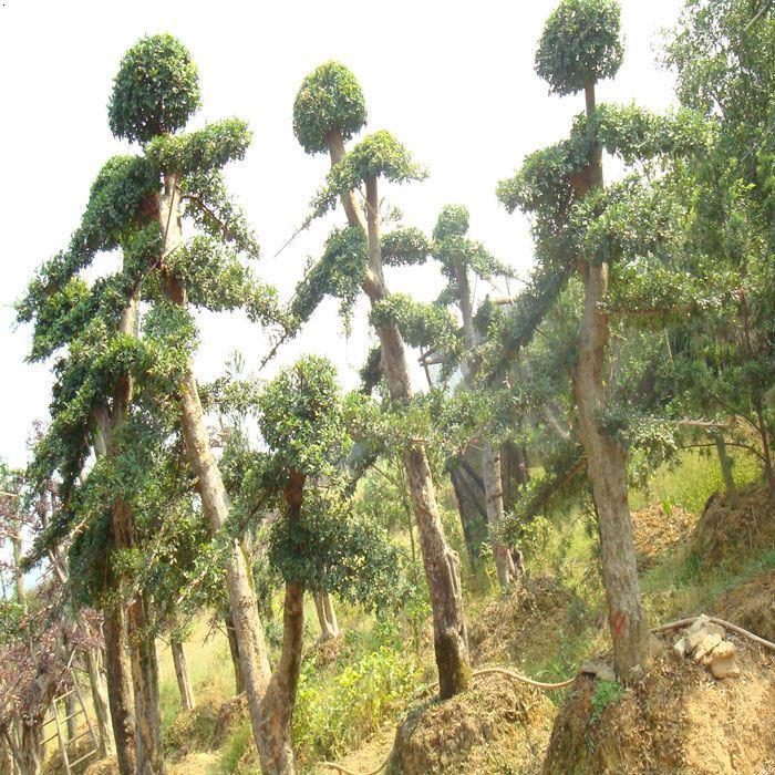 树木嫁接各种方法图片