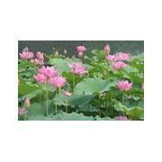 白洋淀优质水生花卉,叶大叶厚.纯绿色无污染