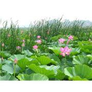 荷花种苗,白洋淀荷花种苗质优价廉 品种齐全,欢迎致电选购