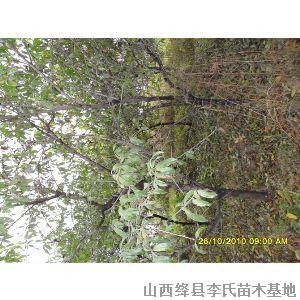 供应山桃树山杏杜梨树枣树等各种占地用树