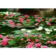 水生植物培育