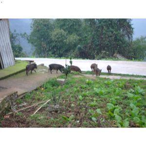 野猪种_海南野猪供应特种野猪种海南特种野猪供应热