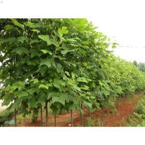 【马褂木树】厂家,价格,图片_金华市丰登苗木合作社