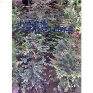 小叶紫檀树价格,小叶紫檀种苗,小叶紫檀价格,小叶紫檀