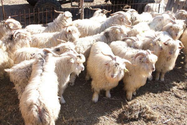 羔羊 辽宁/辽宁绒山羊羔羊为父本的杂交选育的新品种。辽宁绒山羊是目前...
