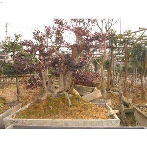 【红花继木盆景】厂家,价格,图片_金华市双岩苗木专业