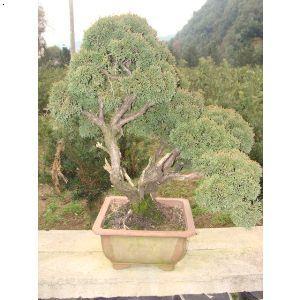【针柏】厂家,价格,图片_金华市双岩苗木专业合作社
