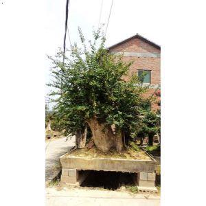 【树桩盆景】厂家,价格,图片_金华市双岩苗木专业