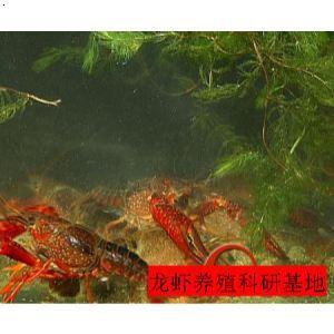 养殖技术网_龙虾养殖技术网|安徽龙虾养殖技术|中国龙虾养殖技术