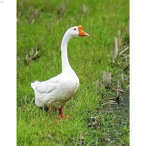 产品首页 农业 特种养殖动物 山西大白鹅  >   价格: 面议 品牌:天沐