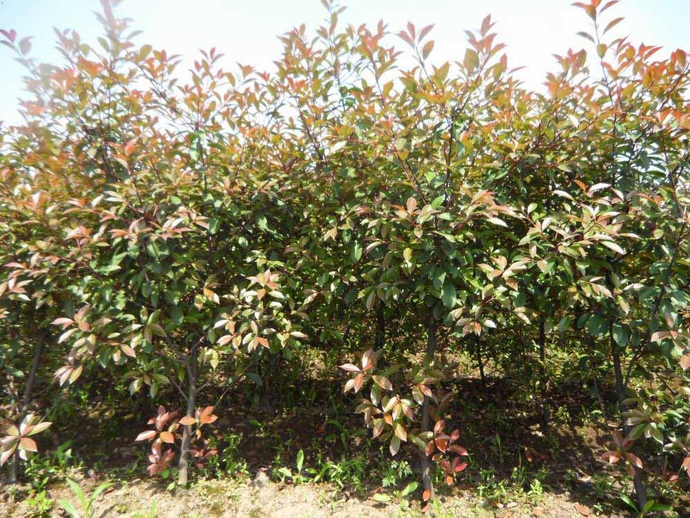 本合作社主要供应八月桂花树,金球桂花树,四季