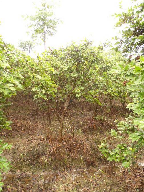 移栽栾树,移栽无患子大树,高杆红叶石楠,移栽杜英,广玉兰,乐昌含笑,红