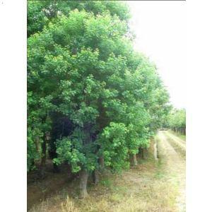 乌桕树; 乌桕树,乌桕树价格