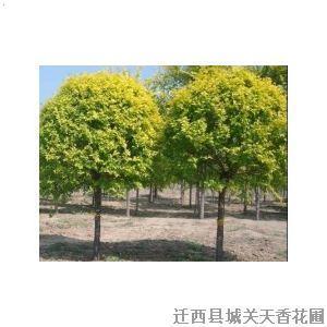 【吉祥树】厂家,价格,图片_迁西县城关天香花圃_必途网