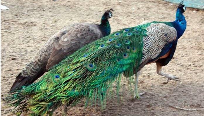 广州动物园 孔雀