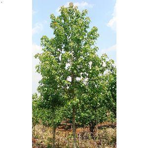 【美国彩叶树】厂家,价格,图片_晋宁红山苗木种植园