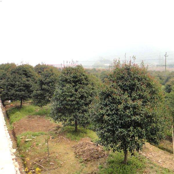 篱笆苗|红叶石楠树|丹桂|状元红桂花|黑皮桂花|毛鹃|小叶栀子花|毛