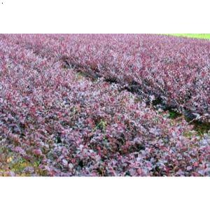 【红继木】厂家,价格,图片_成都千蜀园林绿化公司